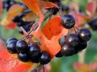 Полезные свойства черноплодной рябины, её вред
