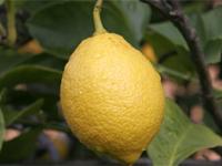 Польза лимона, его вред
