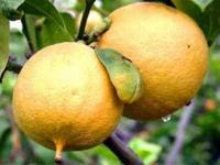 Полезные свойства бергамота, его вред