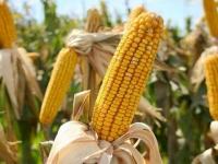 Полезные свойства кукурузы, её вред