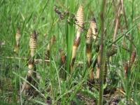 Хвощ полевой для похудения