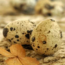 Вред перепелиных яиц