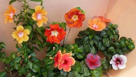Уход за гибискусом домашним и садовым