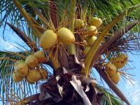 Полезные свойства кокоса, его вред