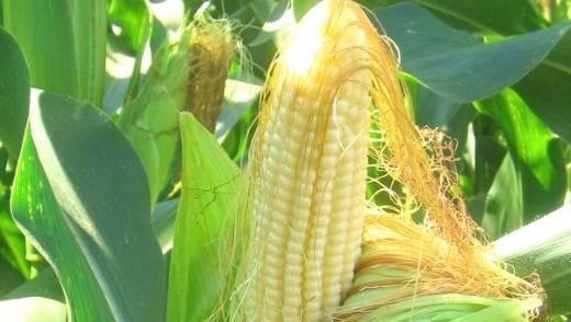 Полезные свойства кукурузных рылец