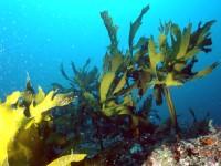 Полезные свойства морской капусты, её вред