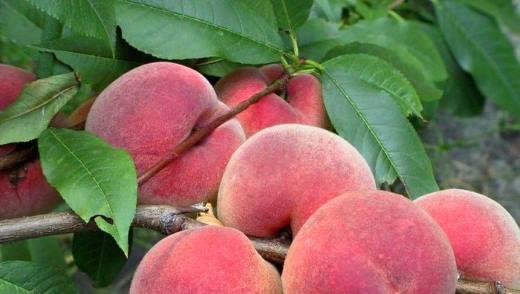 Полезные свойства персиков