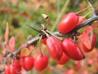 Полезные свойства барбариса, его вред