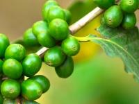 Полезные свойства зеленого кофе, его вред