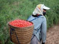 Где растут ягоды Годжи