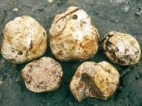 Полезные свойства трюфеля, его вред