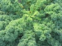 Полезные свойства капусты кале