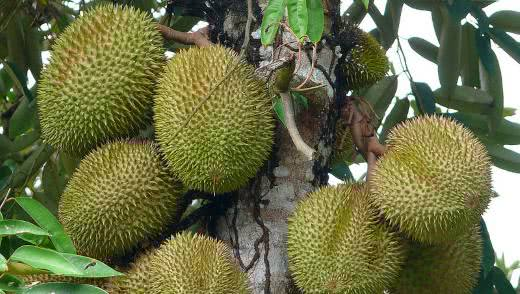 Полезные свойства дуриана