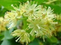 Цветки липы для похудения