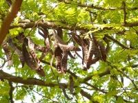 Полезные свойства рожкового дерева, его вред