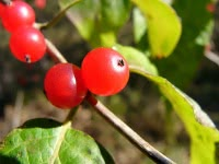 Полезные свойства волчьей ягоды, её вред